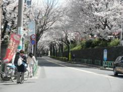桜丘の桜まつり